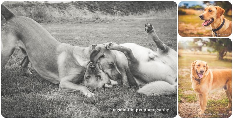 Dogs wrestling