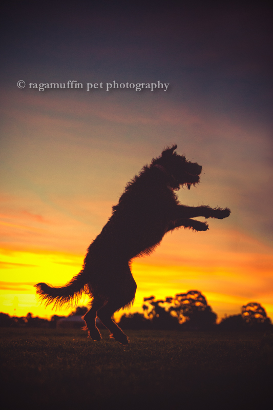 Silhouette Dog in Australia