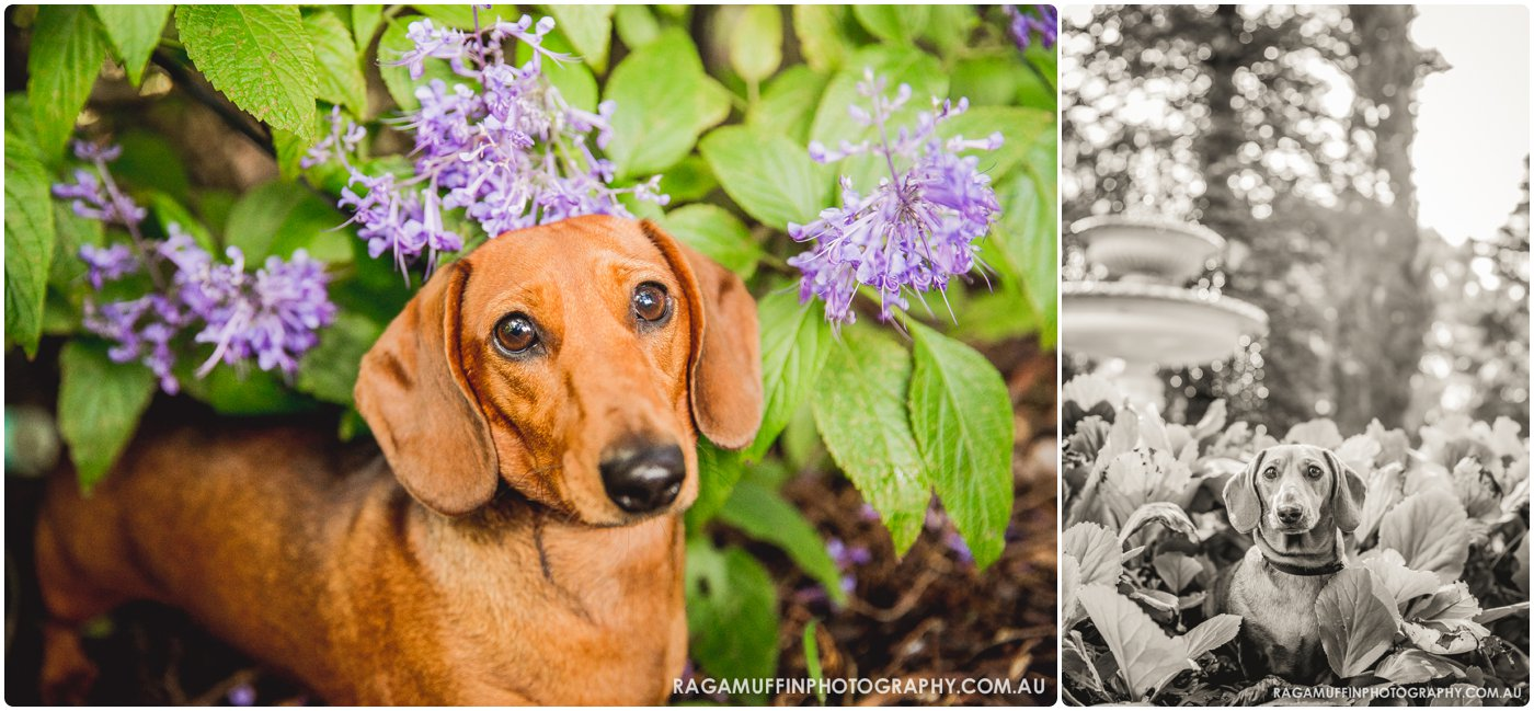 Mini Dachshund Flowers