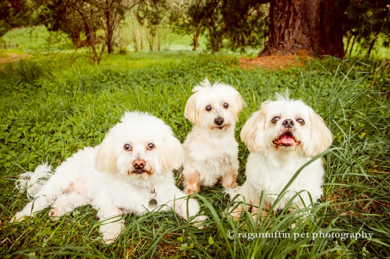 group photo of white dogs in Melbourne