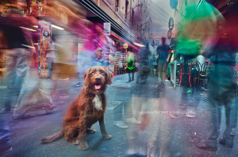 Dog in Melbourne, by Ragamuffin Pet Photography