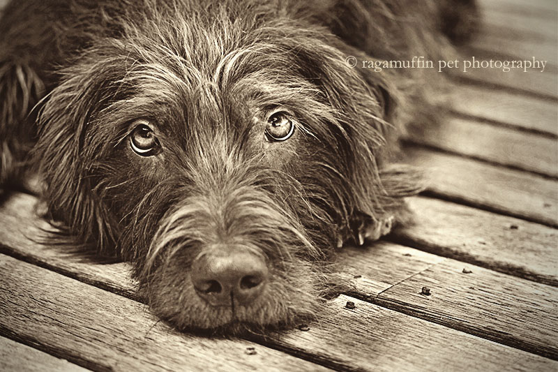 Melbourne Pet Photography - Photo of Dog Lying Down