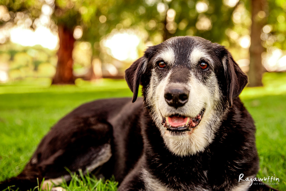 CLYDE - Clyde is a 13 year old Kelpie x Labrador. He is smitten with his furmum, and follows her all around the house. He prefers people over other dogs, love attention, cuddles and adventuring in the caravan with his Mum and Dad.  CLICK HERE TO VOTE FOR CLYDE
