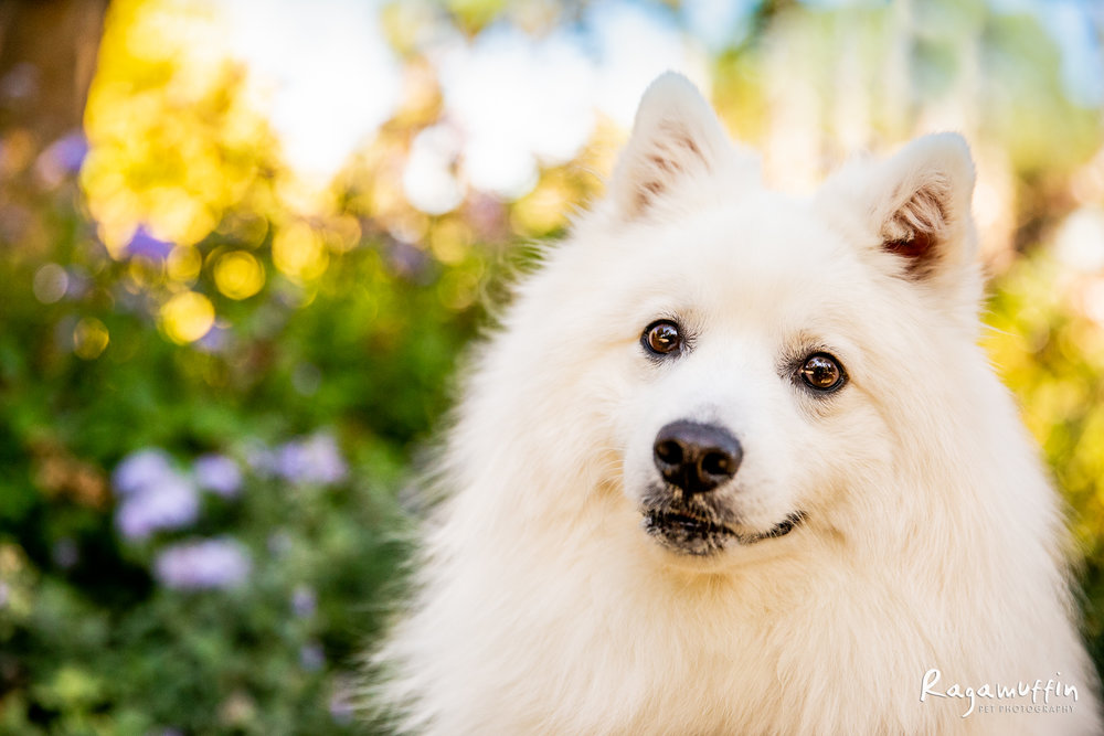 Jax - Jax is a 3 year old Japanese Spitz, whose favourite thing to do is go on walks and sniff EVERYTHING. He has a cheeky personality and an adorable smile that brings so much happiness to his Mum's life. CLICK HERE TO VOTE FOR JAX