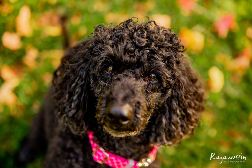 MOLLIE - Mollie is a 10 year old miniature poodle who is absolutely adored by her people. She loves cuddles and when her Dad's pet chickens lay eggs, Mollie collects them and brings them inside to swap for a treat!CLICK HERE TO VOTE FOR MOLLIE