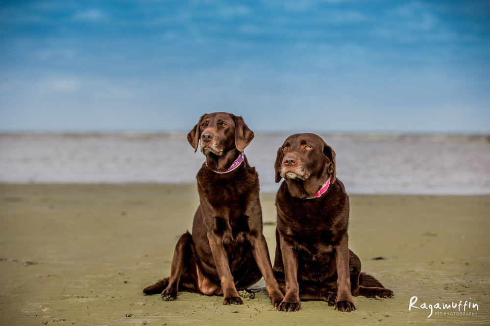 ABbie + teisha - Abbie and Teisha started life on puppy farms as breeders. They were handed over to Labrador Rescue at four years old and since then it's been a long, but hopeful journey for the girls as they gain confidence. They've become the best of friends and mean the absolute world to their Mum, who makes sure they get their beach walk everyday - rain, hail or shine!