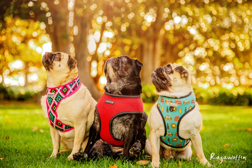 Gus, Bella + Bronson - The trio of adorable pugginess were all adopted from Pug Rescue Victoria. Bella is a bossy, cheeky gal, crazy Gus is totally adored and Mr Bronson is the calm teddy bear of the family. They bring joy, love and laughter to their humans every single day!
