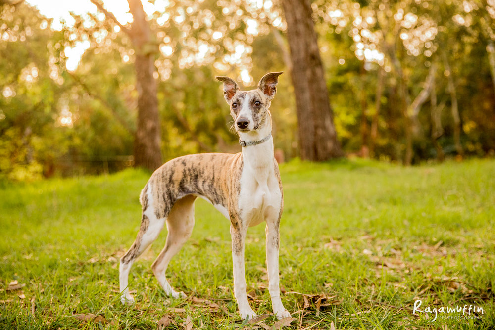 FRANKIE - Frankie is a cheeky Whippet who loves to chase anything that moves (especially balls and birds - oops!) She's a curious little lady who runs the household.