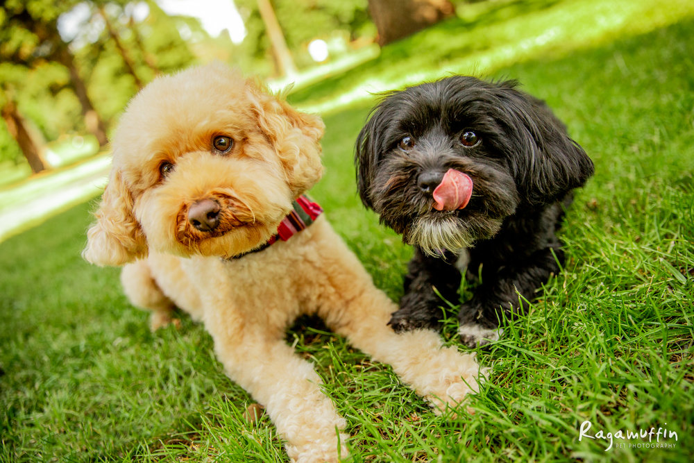 Milo and Mia - Milo is a 6 year old spoodle who lives with Mia, his 5 year old Havanese dog. They are totally adored by all the humans in their lives.