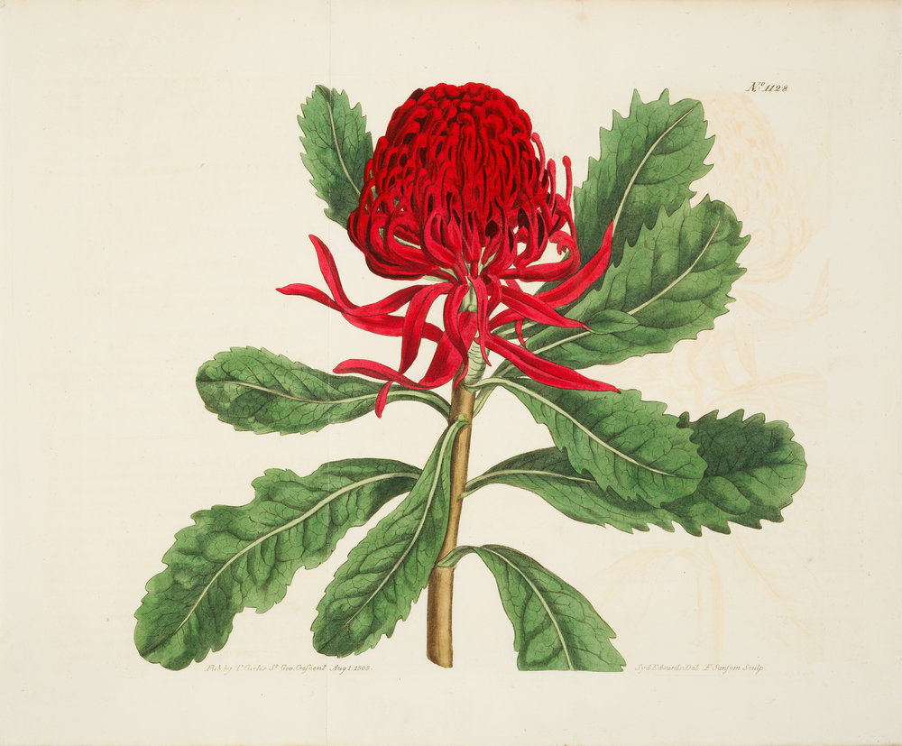Curtis' Botanical Magazine 1790-1835, image digitised for the State Library Of NSW, 2017.