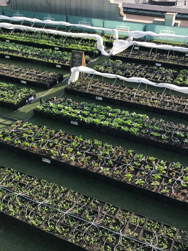 Fenway farms veggies include:arugula, broccoli, broccoli raab, carrots, chard, chives, cilantro, collards, greens mix, head lettuce...