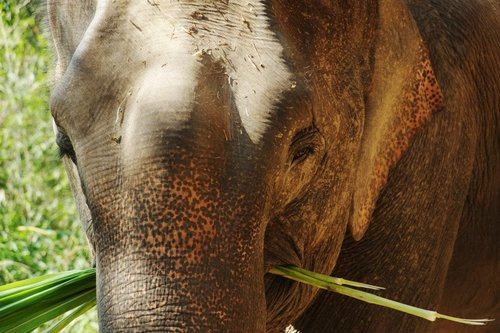 Female ♀ Asian elephant (Elephas maximus) Thong Wan at Chai Lai Orchid elephant camp
