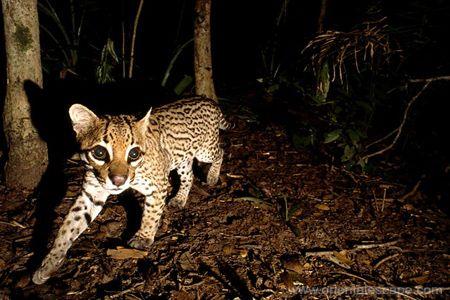Thai wild cat