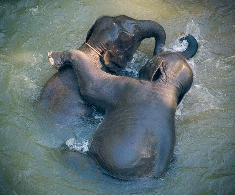 Elephant baby Chai Lai