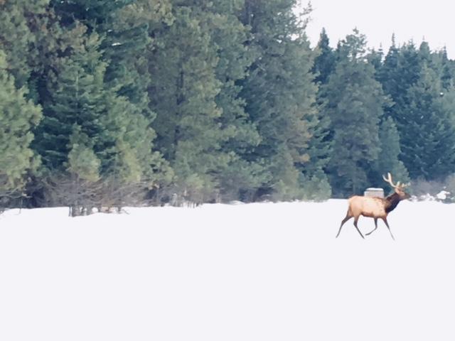 Elk Crossing to Feeding Area at Nelson Dairy Farm