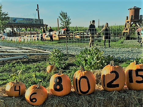 Field Pumpkin Prices