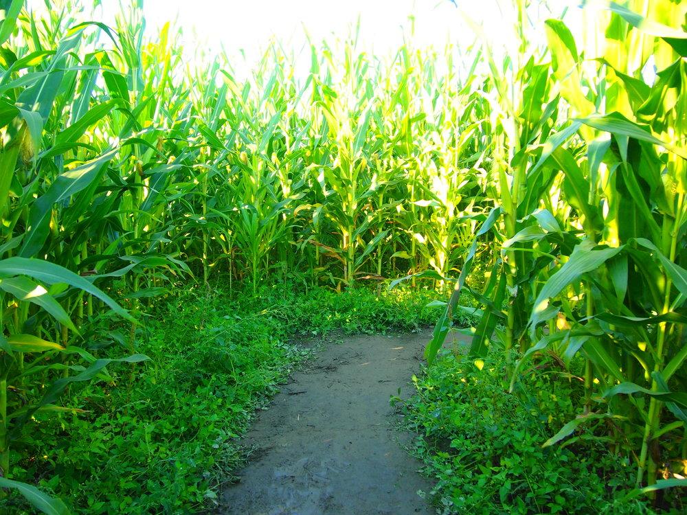 Corn Maze, Stoker Farm, Arlington, WA