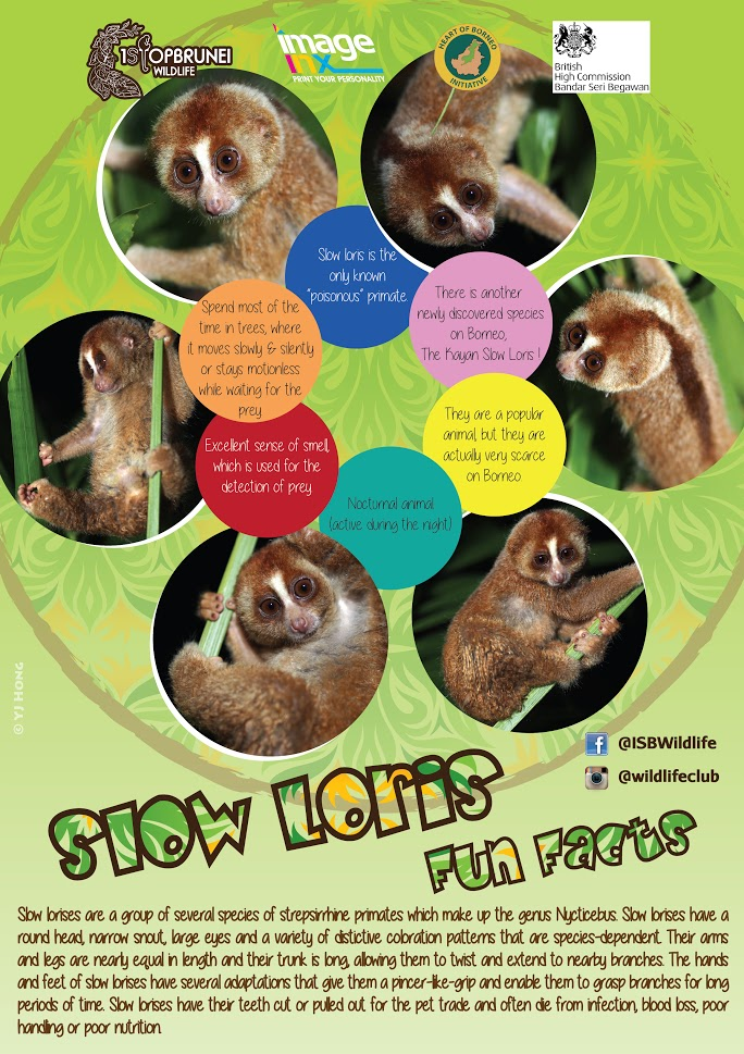 Slow Loris Opt 2.jpg