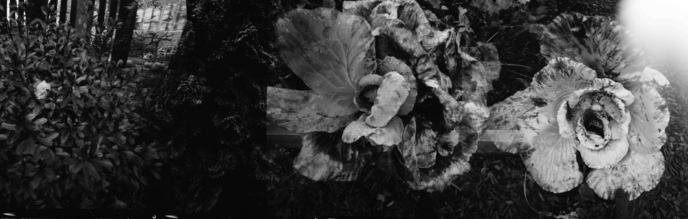 Cabbage. Pinhole photograph. Multiple exposure.