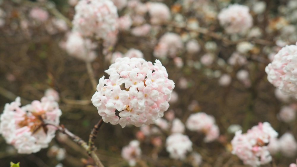 viburnum flowers.jpg