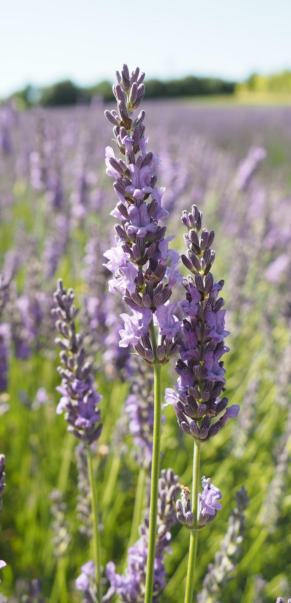 lavender7.jpg