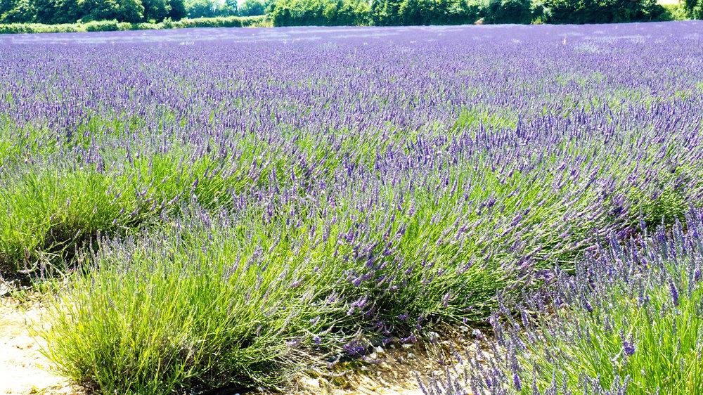 lavender8.jpg
