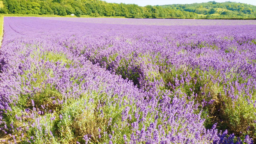 lavender13.jpg