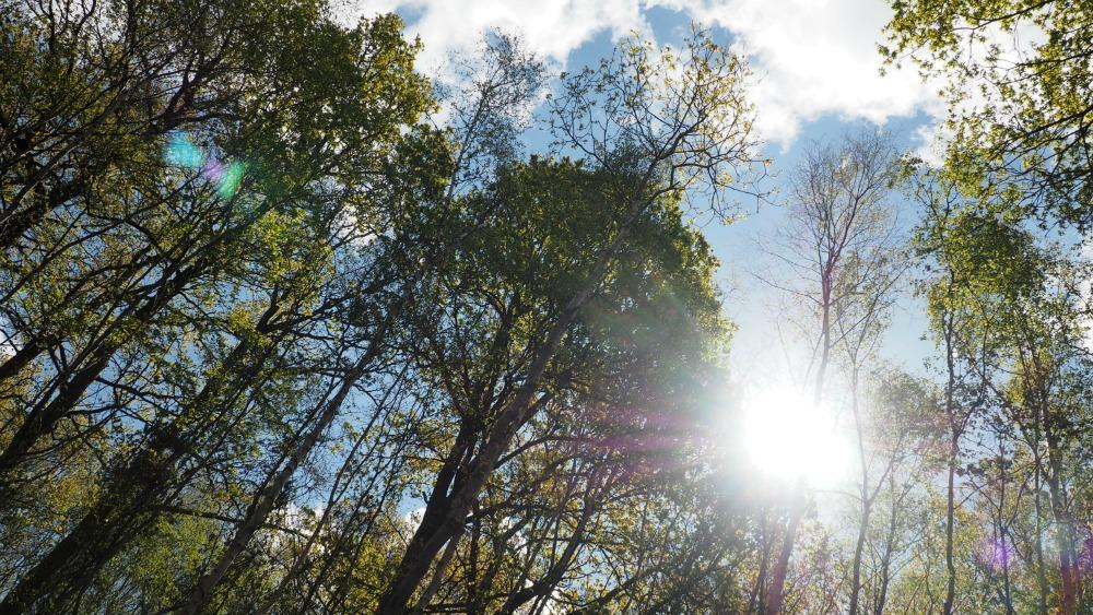 woodland-sunflare-1000.jpg