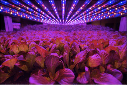 Plants thrive without yellow spectrum lighting at AeroFarms' Newark site.
