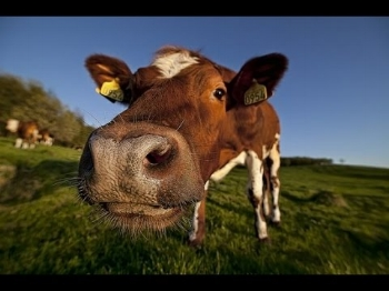 - How now, brown cow ...... a friendly beast to cheer us up.