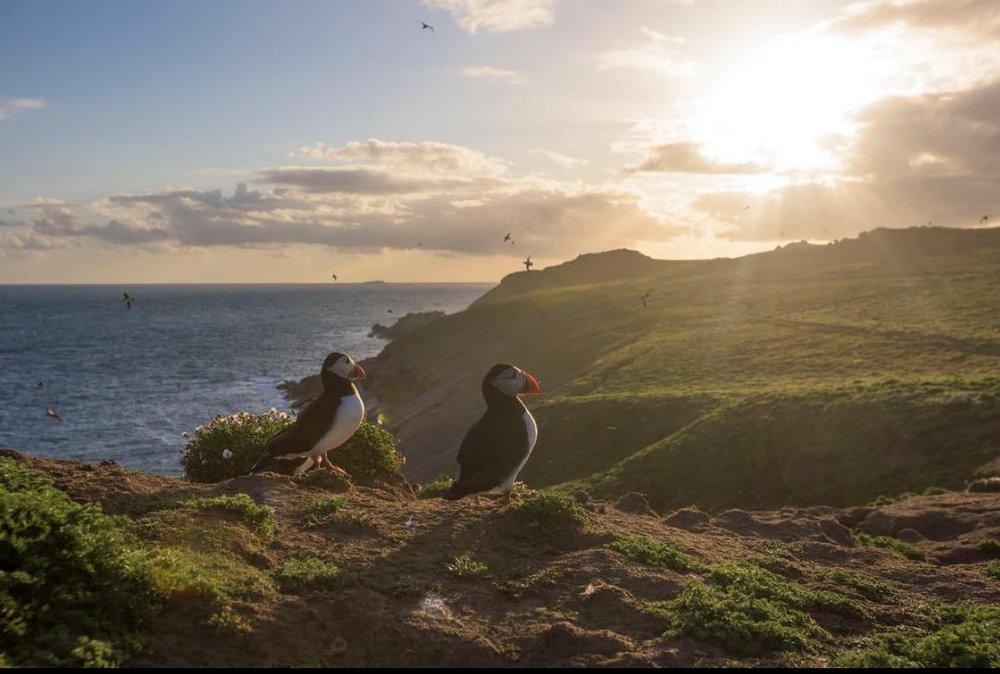 Puffins on Skomer Island. Photograph: Josh Gray, @joshgrayphoto