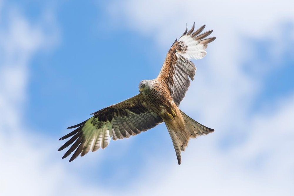 - Less gripping than Assassin's Creed? Red kite over the Brecon Beacons. Photograph: Josh Gray @joshgrayphoto