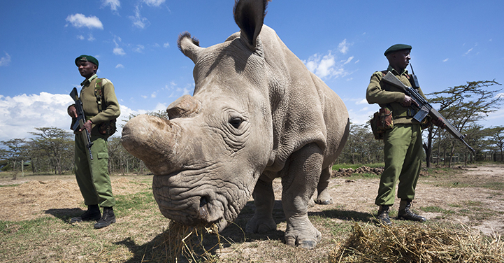 Only surviving male northern white rhino is put under armed guard 24 hours a day. Picture: AP.