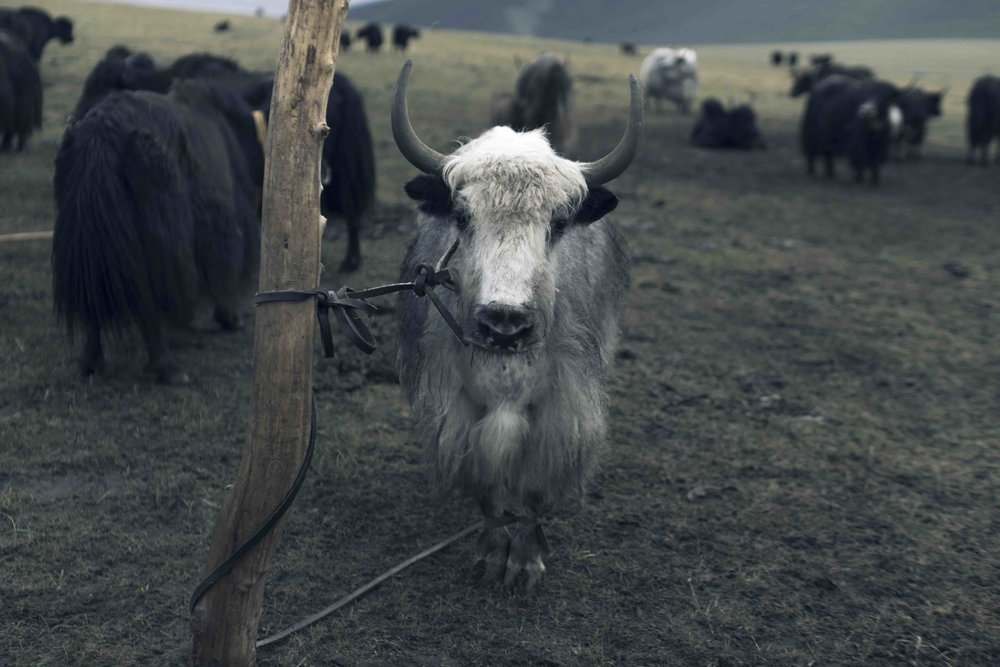 Soft as cashmere, warmer than merino: yak hair is a miracle fibre. Picture: Tengri.