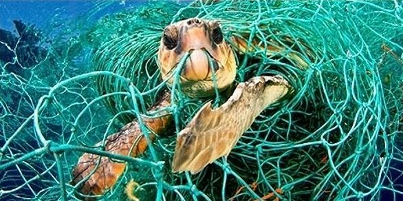 Sea turtles, sharks, dolphins and seals are victims of abandoned fishing gear.