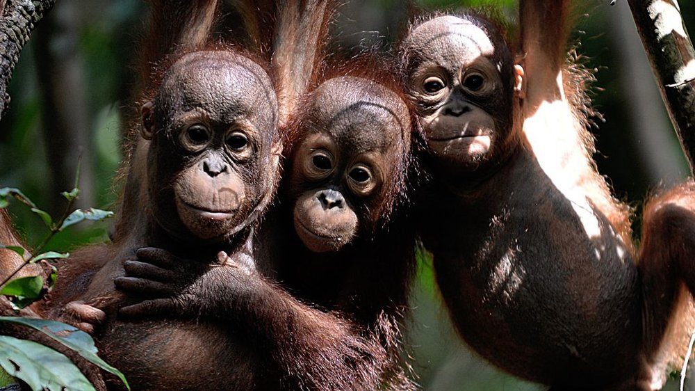 Borneo's orang-utan population has declined by more than half since 1999 due to palm oil production and logging. Picture: Sky News.