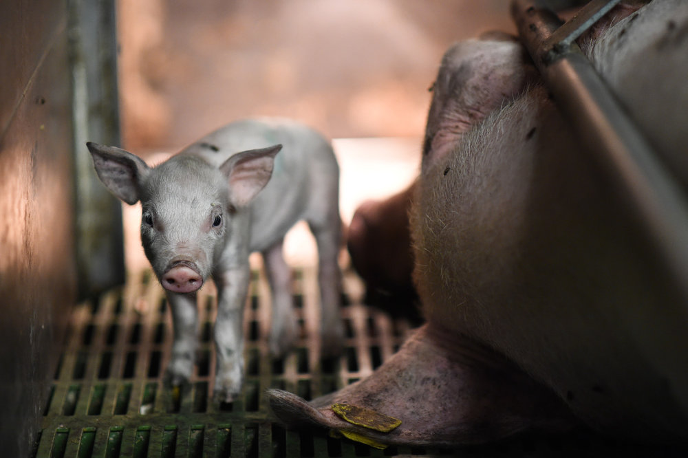 A young piglet moves to stand near his mother's face.  Picture: Jo-Anne McArthur / Essere Animali