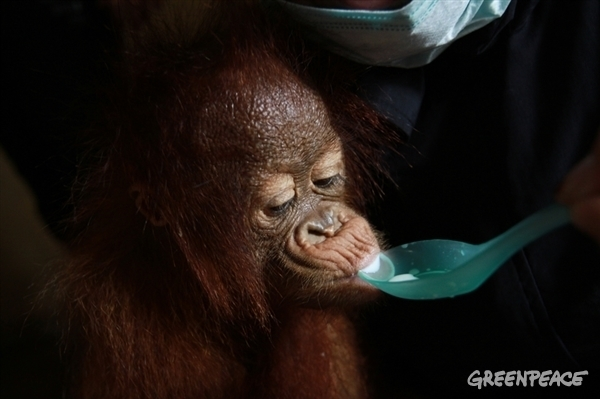 Human and animal conflict over land and resources in palm oil lead to casualties and orphans. Picture: Greenpeace.