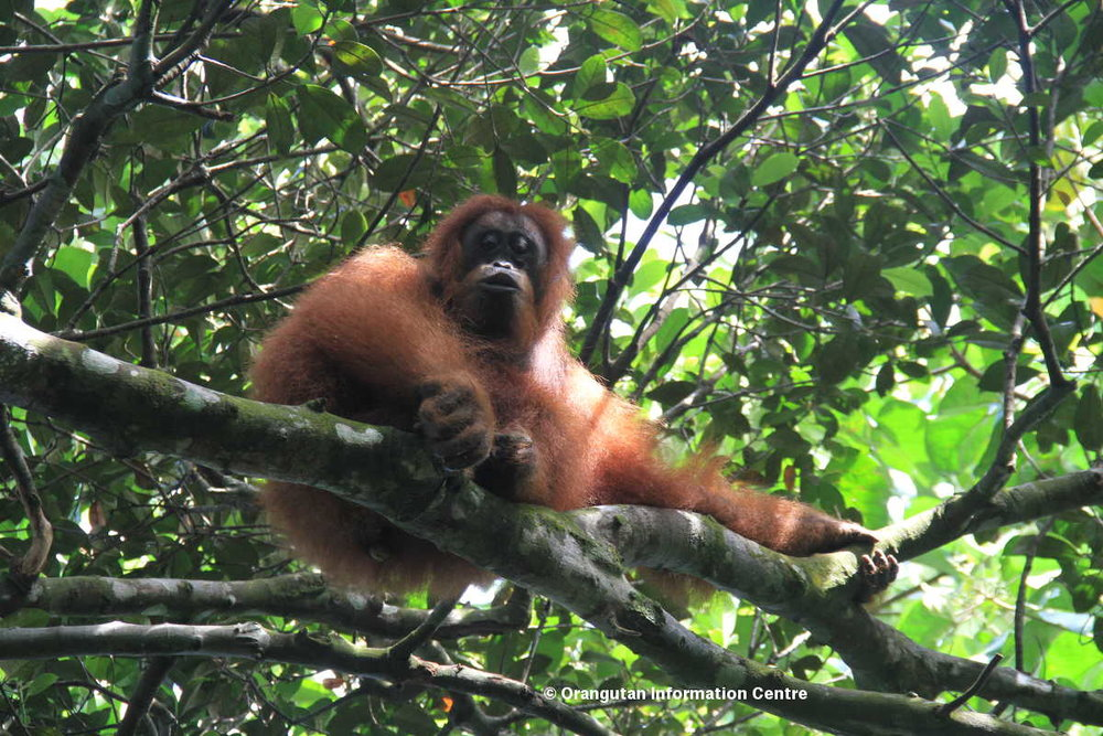 Orang-utan populations are left fragmented and isolated as roads and plantations divide up the forest. Picture: Ulet Ifanstas.