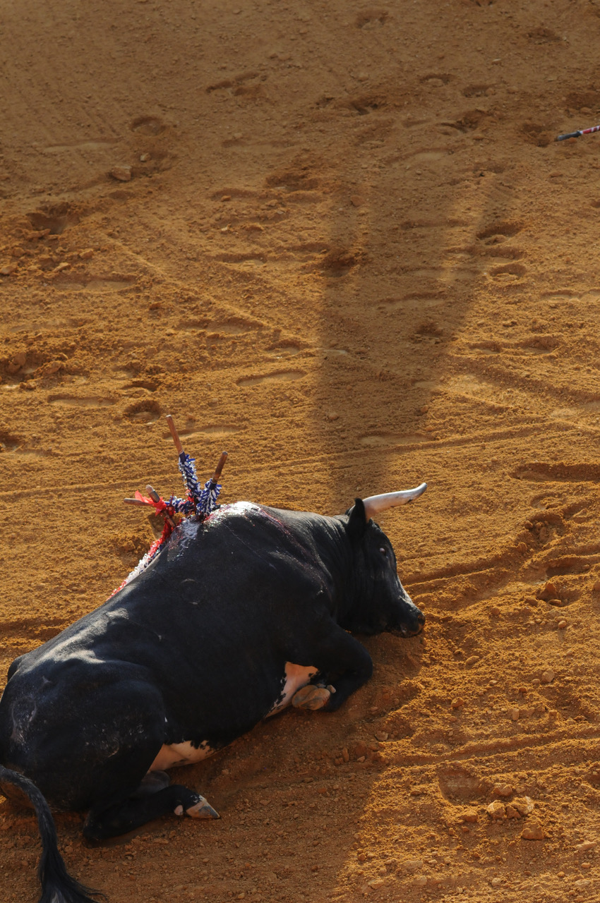 A bull dies after a bullfight in Spain. Picture: Jo-Anne McArthur, We Animals.
