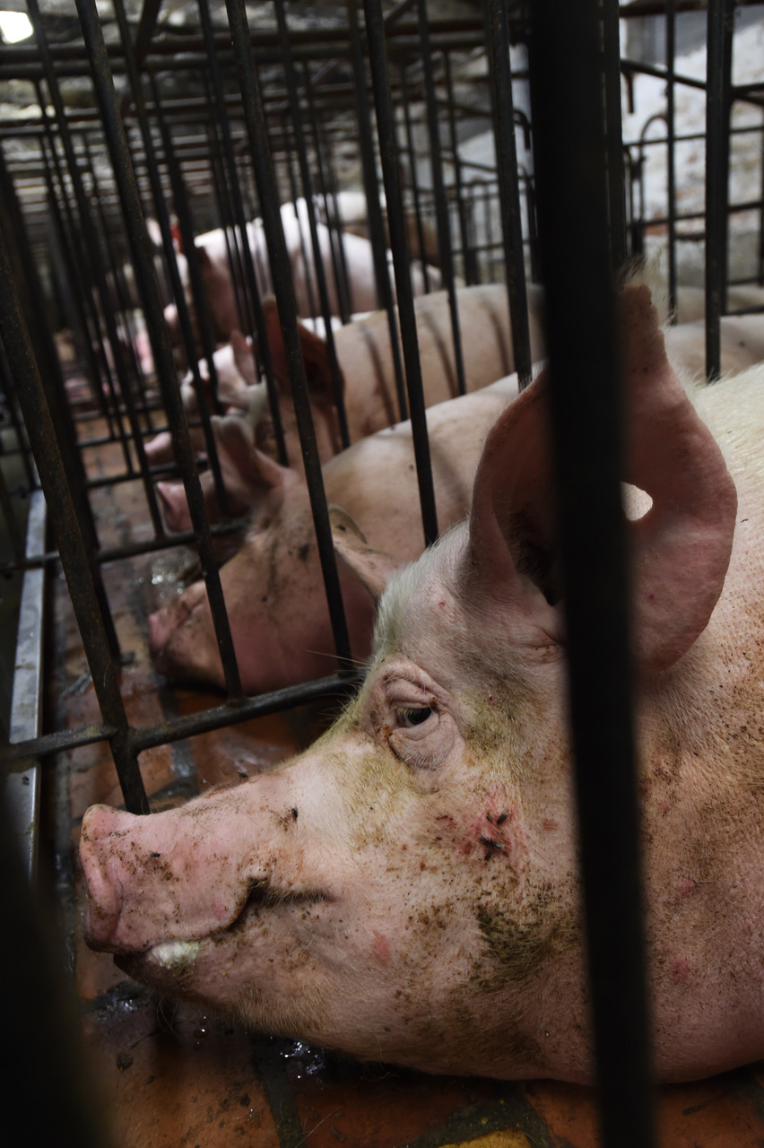 Pig farm in Italy. Picture: Jo-Anne McArthur, We Animals.
