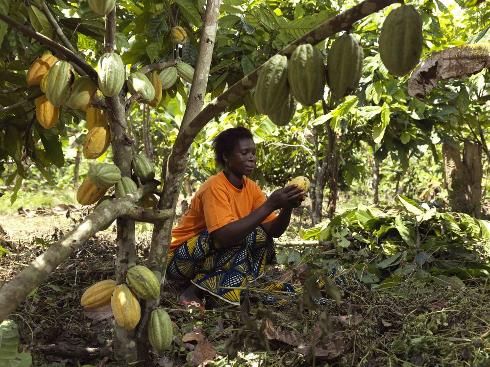 CAYAT member Mrs Kouma inspecting a harvested cocoa pod. Picture: Peter Caton.