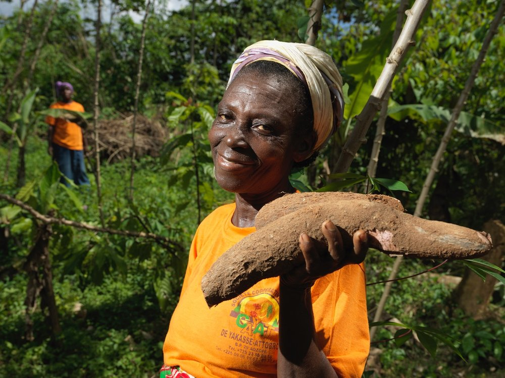 N'guessan Cha Blandine of CAYAT harvests a cassava root from their Fairtrade Premium-funded income diversification project. Picture: Peter Caton.