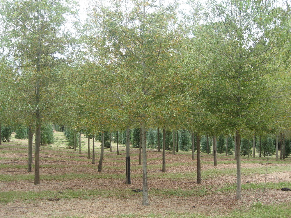 Willow Oak 3 cal.jpg