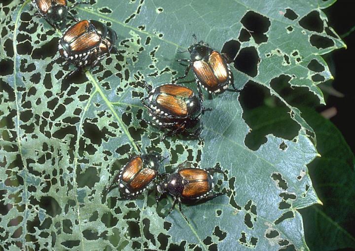 japanese-beetle-damage_1_full_width.jpg