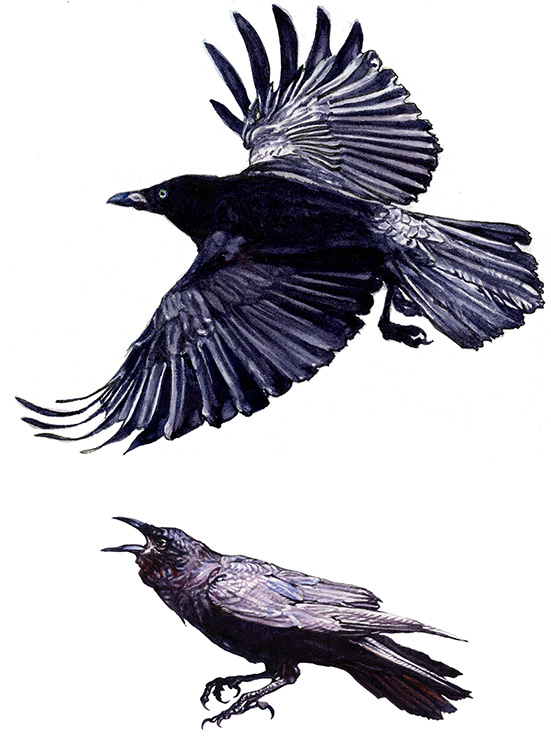 Illustrations for  Cape & Island  Distillers' Fish Crow American Whiskey labels