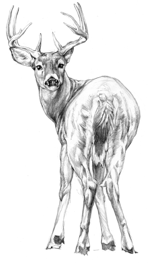 Pencil-whitetailbuck.jpg