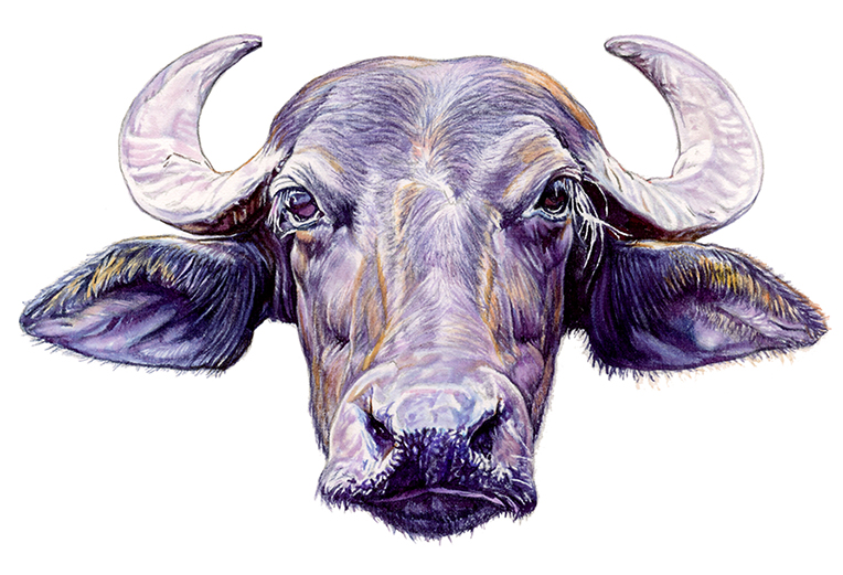 Water Buffalo for Ithaca Water Buffalo logo