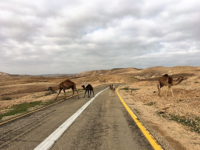 Camel Crossing in the Judean Desert