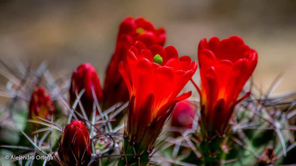 King Cup Cactus (echinocereus triglochidiatus)
